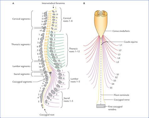 section filum terminale spinal cord neupsy key