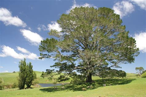 file the original party tree hobbiton new zealand jpg