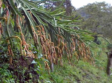 pitahaya frutas selectas del valle ltda