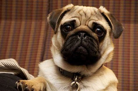 how much is a pug cost how much do pugs cost the highs and lows of budgeting for pugs