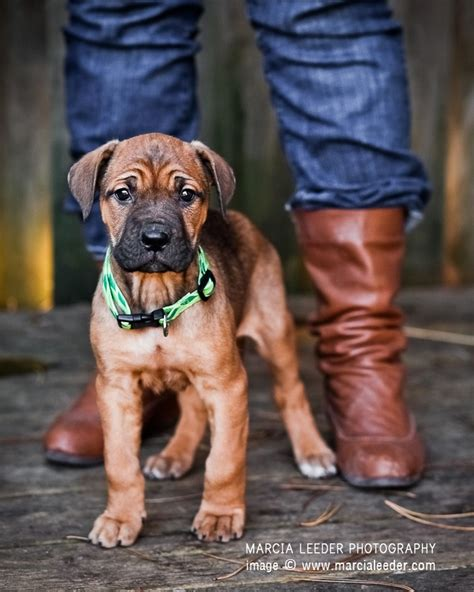 bullmastiff rottweiler 11 crazily rottweiler mixes you to check out now