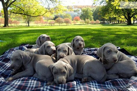 weimaraner puppies for sale near me weimaraner for sale for 800 near syracuse new york 649ca956 eda1