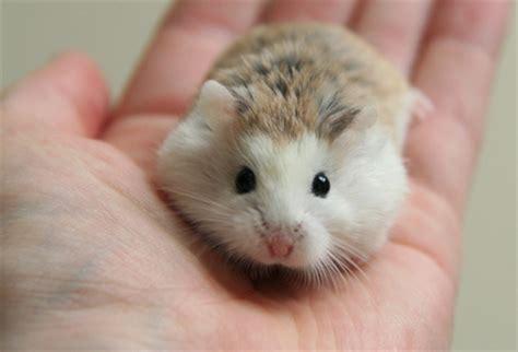 roborovski hamster animals photo  fanpop