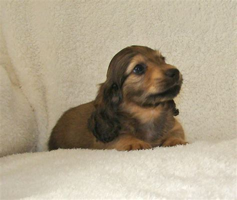 golden retriever puppies for sale jacksonville fl mini dachshund puppies for sale jacksonville florida photo