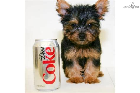 grown yorkies grown yorkie terrier breeds picture