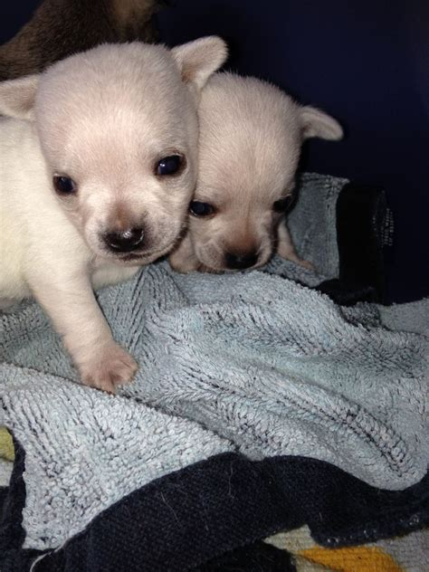 white chihuahua puppies for sale applehead chihuahua puppies for sale quotes