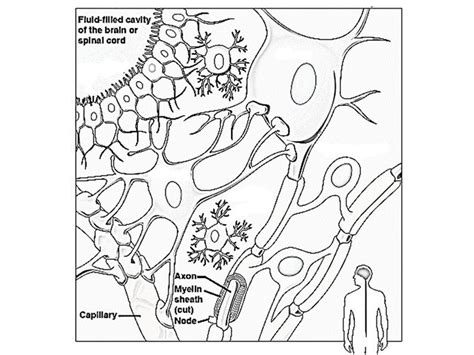 nerve cell coloring nerve cell coloring pages