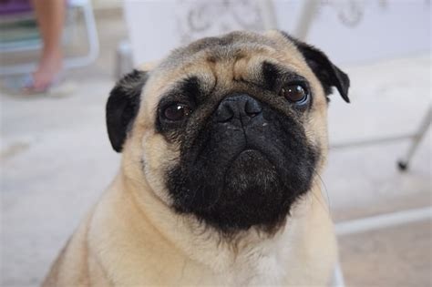 pug spot treatment allergies how to spot treat naturally and help prevent iheartdogs