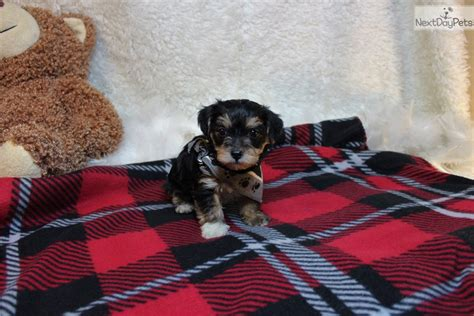 yorkie poo puppies st louis mo yorkiepoo yorkie poo puppy for sale near st louis missouri 0f66dd21 a071