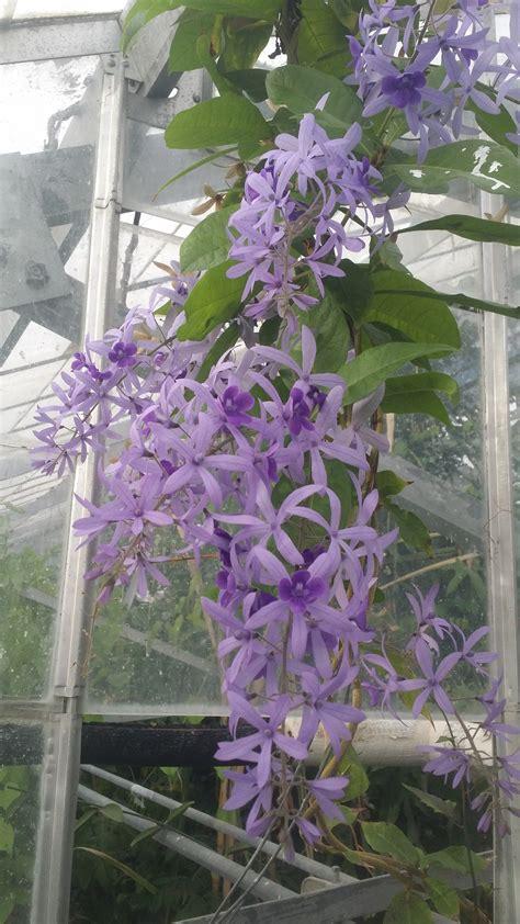 photos of colombia flowers petrea volubilis petrea volubilis verbenaceae queens wreath purple wreath