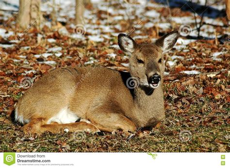 deer laying stock photography image 15455892