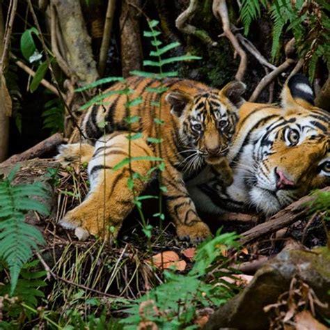 tigres en el barro 8493886327 r 237 o owyhee 193 rea de vida salvaje del r 237 o owyhee idaho estados unidos