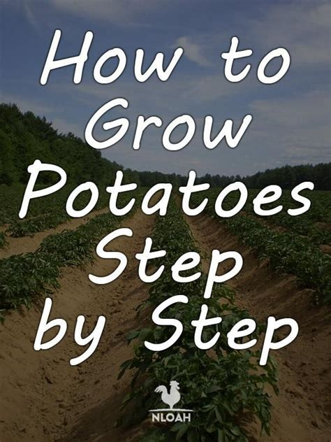 how to grow potatoes step by step survival skills