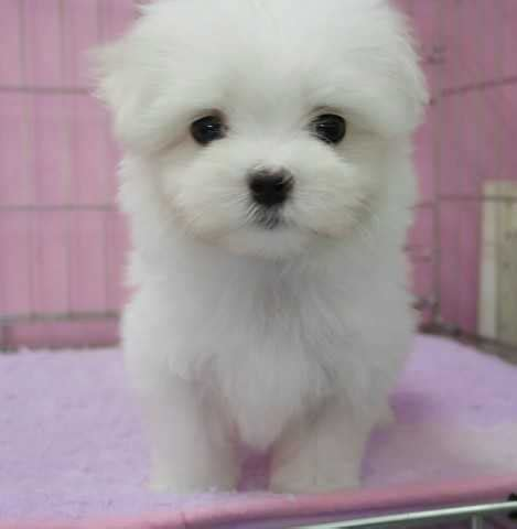 local puppies quality local puppies for sale for sale adoption in singapore adpost classifieds