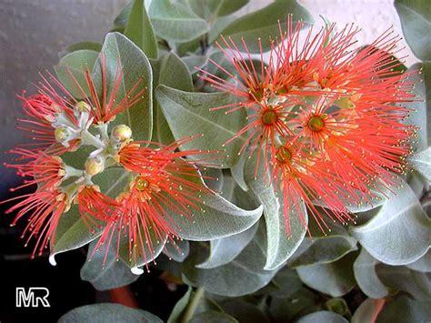 metrosideros thomasii new zealand christmas bush