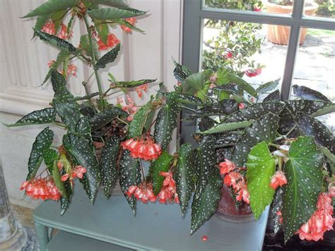 angel wing begonia care indoor this angel wing begonia is in the garden house ideas for the