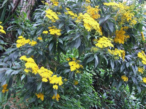 yellow flower shrubs yellow blooming shrubs images frompo 1