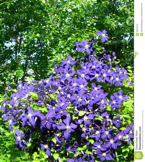 clematis vine on trellis royalty free stock photo