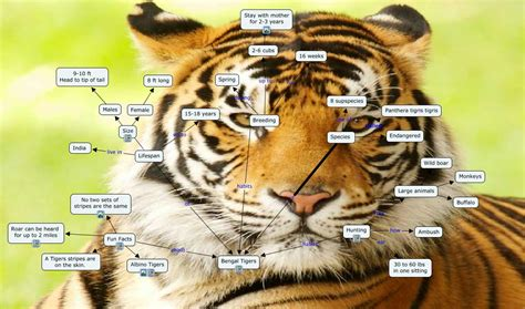 facts about the new year tiger bengal tigers