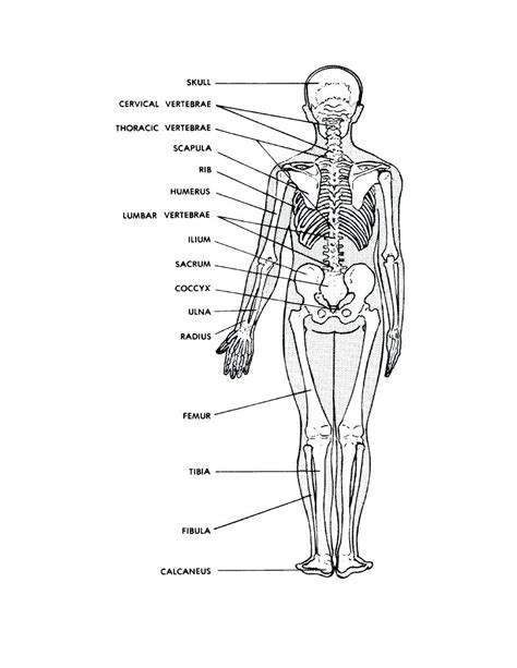 skeleton diagram labeled diagram human skeleton diagram labeled for