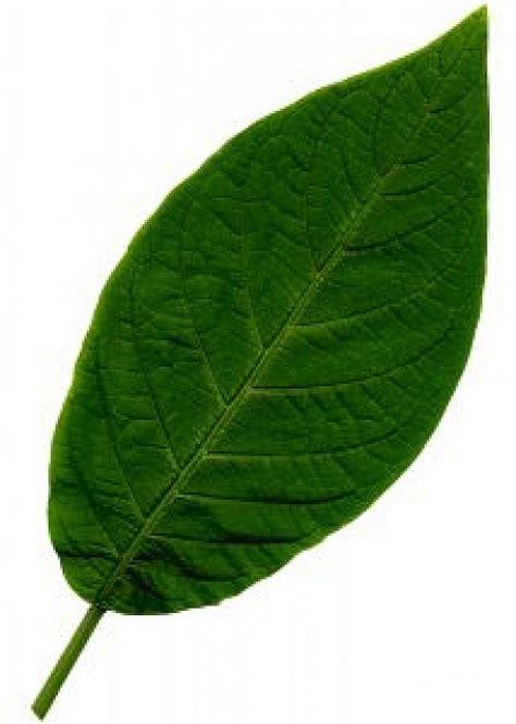 imagenes hojas verdes la hoja 1 descargar fotos gratis
