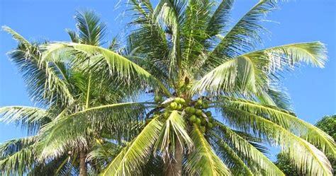 ciri ciri manfaat  deskripsi pohon kelapa artikel