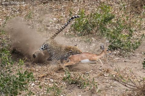 a leopard kill in kruger africa geographic