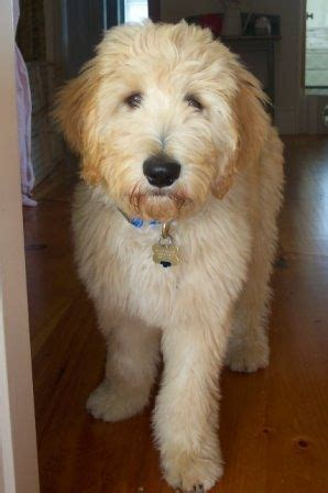goldendoodle with puppy cut doodlelane home raised goldendoodle and labradoodle