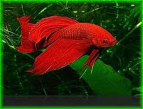 betta splendens alimentazione betta splendens maschio vendita pesci