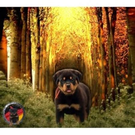 rottweiler breeders ga der korperkraft rottweilers dkv rottweilers rottweiler breeder in atlanta