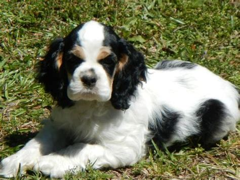 cocker spaniel puppies for sale in sc 17 best ideas about spaniel puppies for sale on cocker spaniel for sale