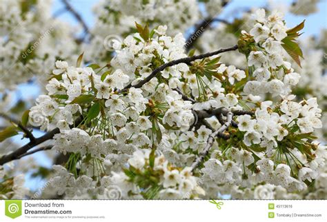 blossoming tree with beautiful white flowers stock photo image 45113616