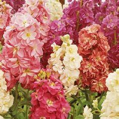 fragrant bedding plants 1000 images about flowers for my garden on
