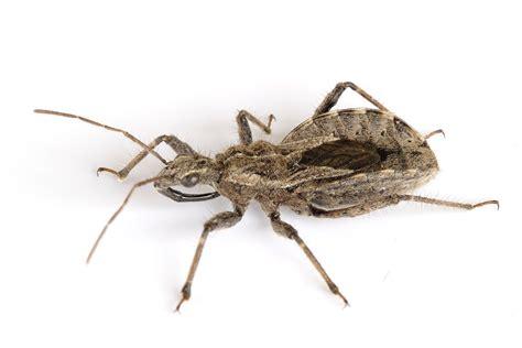 bed bugs wiki file assassin bug aug08 jpg