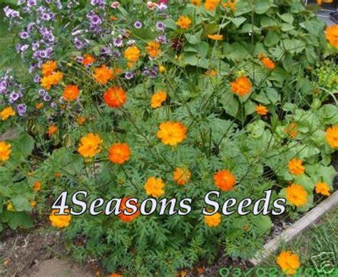 Benih Bunga Cosmos Bright Lights Mix Orange And Yellow Flower 1 cosmos bright lights mix 4seasons seeds