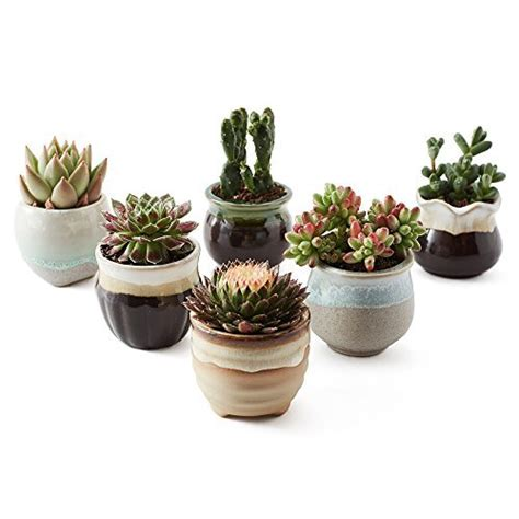amazon succulents succulent and cactus amazon com