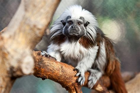 best cotton cotton top tamarin lincoln park zoo