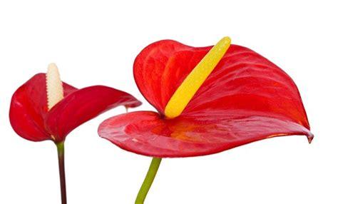 anthurium fiore fiore anthurium piante appartamento caratteristiche
