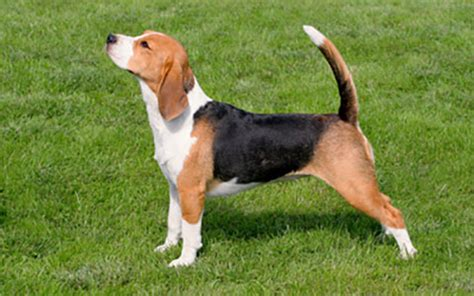 beagle ufaw