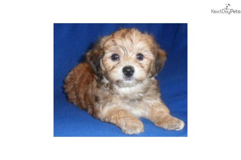 yorkie puppies toledo ohio yorkie poo puppies for sale in toledo ohio