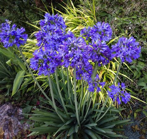 agapanthus is a blast of spectacular midsummer color the