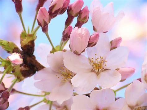 imagenes de sakura japon sakura colores 桜の色 sakura no iro en una japonesa en