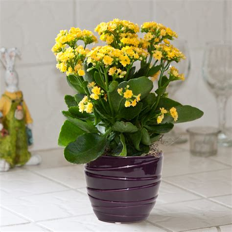 indoor flowers kalanchoe