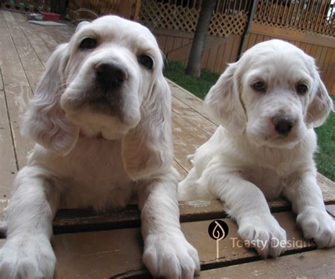 setter dog rescue english setter rescue illinois in great beyond english