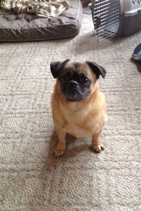 pug rescue uk adopting pug rescue adoption and pug on