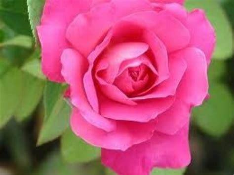 imagenes hermosas y sentimentales diapositiva de rosas bonitas