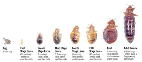 how big can a bed bug get how i learned to overcome bed bugs van winkle s