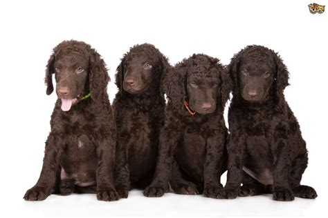 curly coated retriever puppies for sale curly coated retriever breed information buying advice photos and facts pets4homes