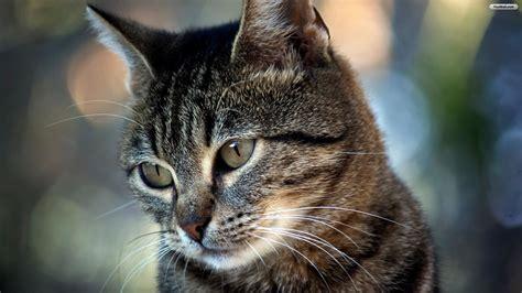 wallpaper hd 1920x1080 cat hd cat wallpapers 1920x1080 69 images