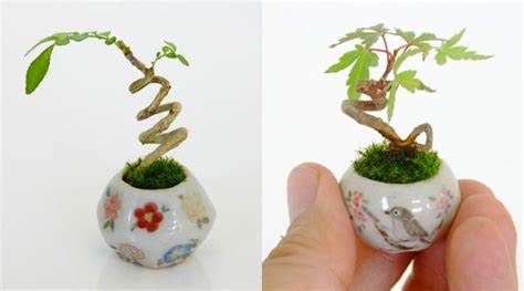 mini plants itsy bitsy bonsai plants grow in adorable thimble sized